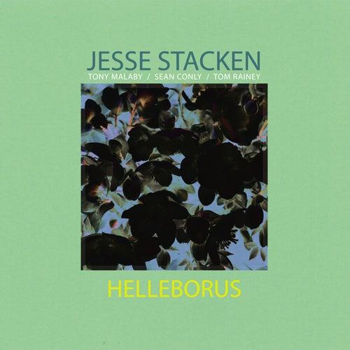 Helleborus by Jesse Stacken