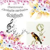 Chardonneret Carduelis carduelis by Goldfinch