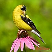 Popular Bird Calls and Songs by Wildtones - Bird Calls and Bird Songs